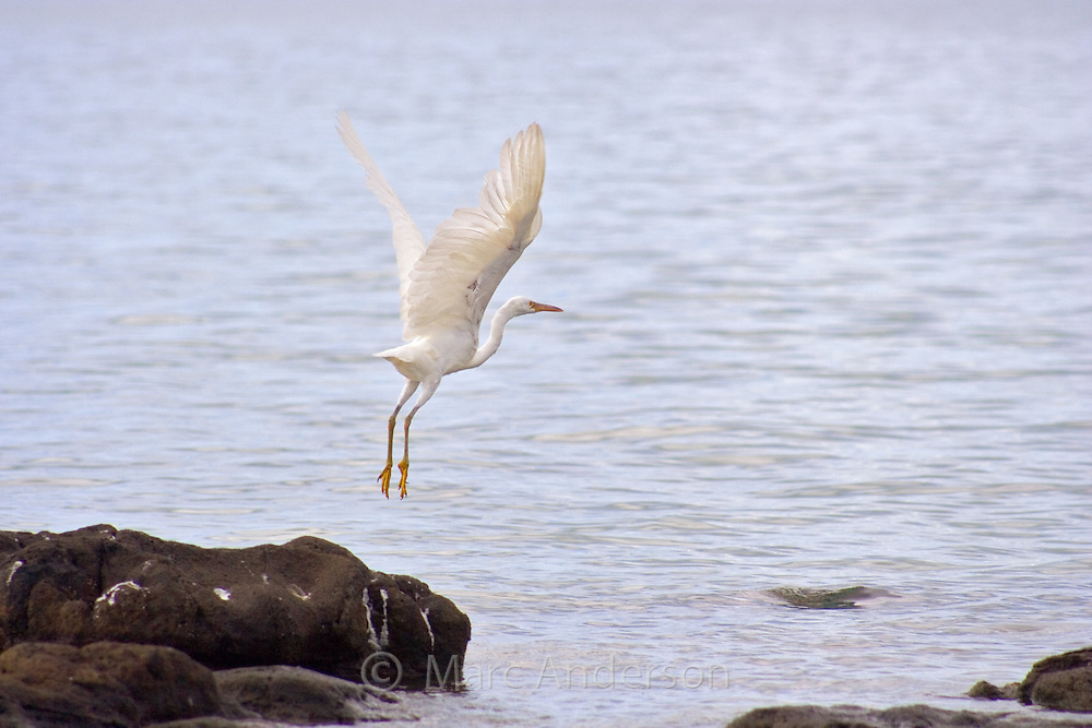 White Pacific Reef Egret taking off in flight with legs dangling.