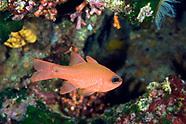 Cardinalfishes