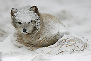 An Arctic Fox is awakened from it's nap just outside the opening to its den in a snowstorm on St. Paul Island in the Bering Sea. (Steve Ringman / The Seattle Times)