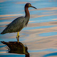 Little-Blue-Heron-