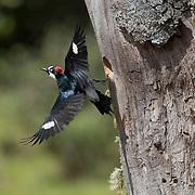 Acorn Woodpecker in flight, leaving the nest