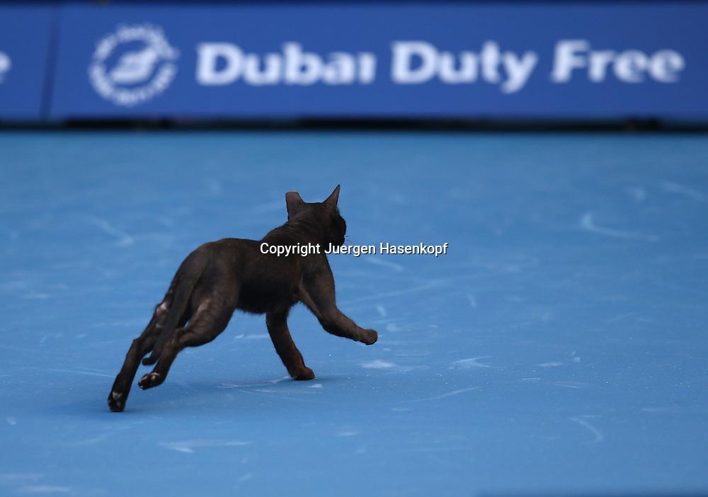 Dubai Tennis Championships 2013, ATP Tennis Turnier,International Series,Dubai Tennis Stadium, U.A.E., eine schwarze Katze laeuft ueber den Platz,Querformat,Feature,witzig,