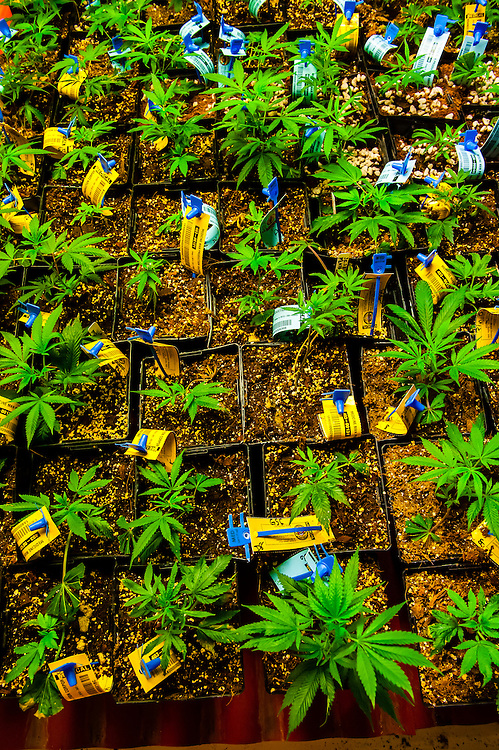 Medicine Man Denver is the single largest legal medical and recreational marijuana dispensary in Denver, Colorado USA. Their 20,000 sq. ft. facility will soon double in size. Radio frequency ID tags and 65 video cameras allow the State of Colorado to track inventory through the growing process and all plant weight is accounted for. Medicine Man won the High Times' Cannabis Cup for best sativa (Jack Herer). 20-30 strains are available for sale daily.