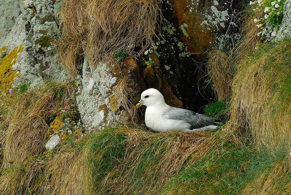Fulmar (Fulmarus glacialis) resting on its cliff nest. Scotland. UK.