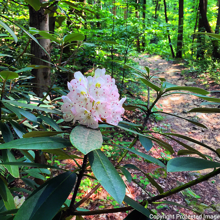 A rhododendron on the Henry Clay Furnace Trail at Coopers Rock State Forest blooms brightly in July 2017. (iPhone 6 Plus photo by Mark A. Shephard)