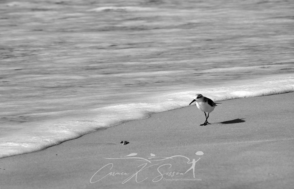 A laughing gull walks along the surf's edge on Dauphin Island in Alabama Dec. 4, 2011. (Photo by Carmen K. Sisson/Cloudybright)