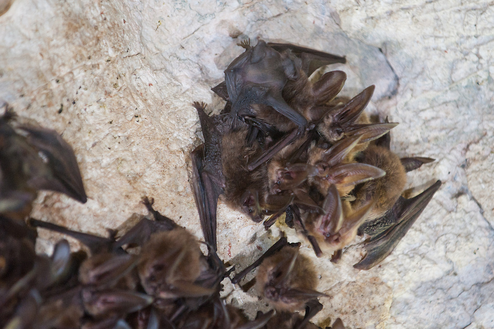 a cluster of Townsend's longeared bats, females with babies, on the ceiling of a limestone cave, a dark grey baby clinging to it's more brown colored mother