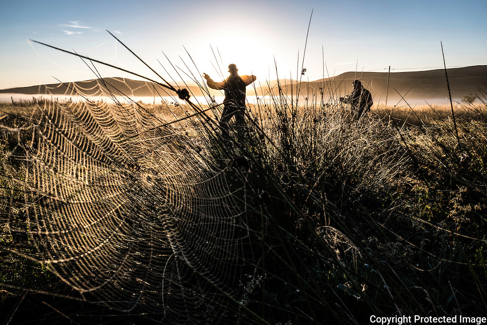 Pennymuir, Hownam, Jedburgh, Scottish Borders, UK. 17th September 2016. Walkers make their way up the old Roman Road, with a bit of dancing in the sunlight between steps. A cobweb interweaving rushes of grass is illuminated by the early morning sun rising behind the Cheviot Hills on the Anglo Scot border.