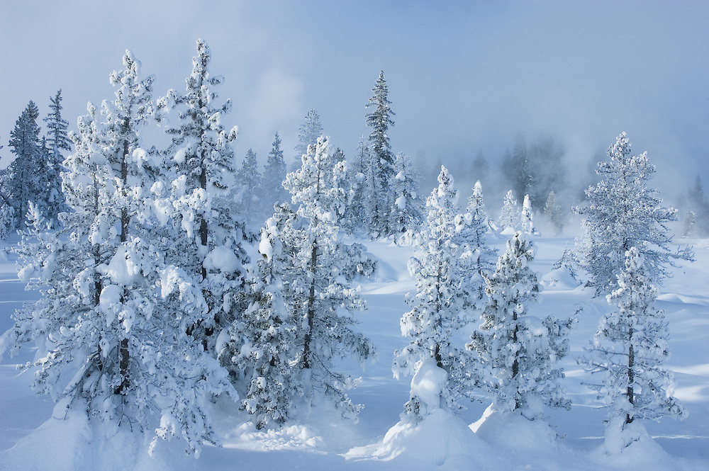 Snow and ice-covered pine trees along trail at West Thumb Geyser Basin, Yellowstone National Park. .