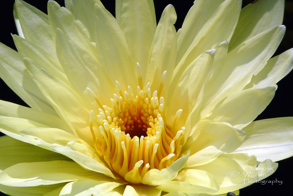 """Full-frame image of cup-shaped bright yellow water lily (Brachyceras Nymphaea) cultivar """"Carla's Sonshine"""" exhibits close-up detail of golden stamens with creamy yellow tips. Flower displayed at Longwood Gardens (Pennsylvania) in July 2010."""