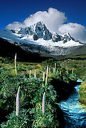"Giant lupines (Lupinus weberbauerii) grow meter-tall flower stalks below snowy Mount Taulliraju (19,100 feet) in Tingopampa Valley, near Punta Union Pass, on the Santa Cruz Trek in Huascaran National Park, Peru, South America. Lupinus is a genus in the pea family (also called the legume, bean, or pulse family, scientific name Fabaceae or Leguminosae). UNESCO honored Huascaran National Park on the World Heritage List in 1985. Cordillera Blanca mountain range is in the Sierra Central of the Peruvian Andes. Published in Wilderness Travel 2002 and 2009 Catalog of Adventures. Published in ""Light Travel: Photography on the Go"" book by Tom Dempsey 2009, 2010."