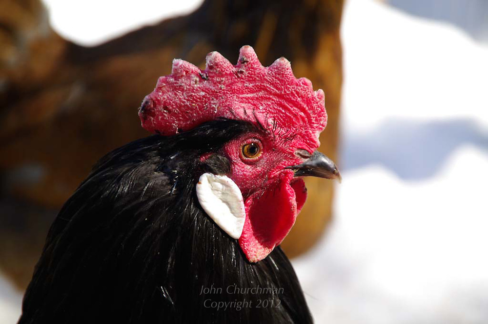 rooster contemplates life