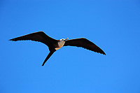 Frigatebird flying on the blue sky of the Abrolhos island bahia state brazil