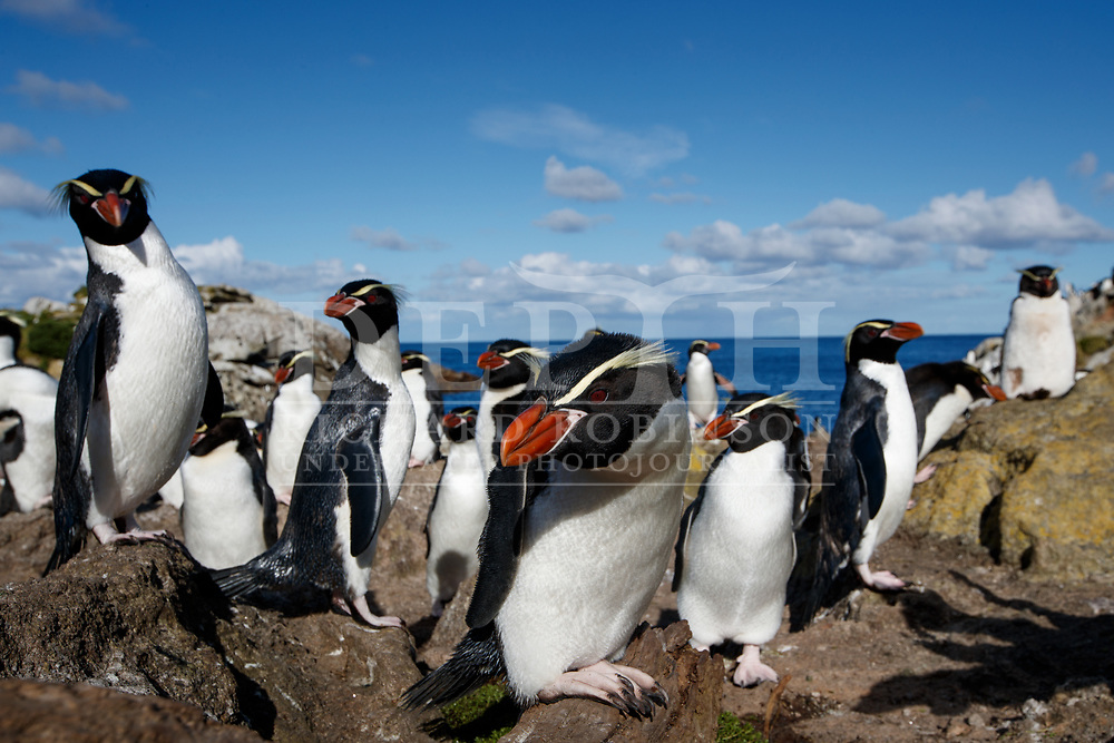 Snares Crested Penguin (Eudyptes robustus) at the Snares (Tine Heke) Sub Antarctic Island Group in the Southern Ocean, New Zealand.<br /> December 2016.<br /> Photograph Richard Robinson &copy; 2016