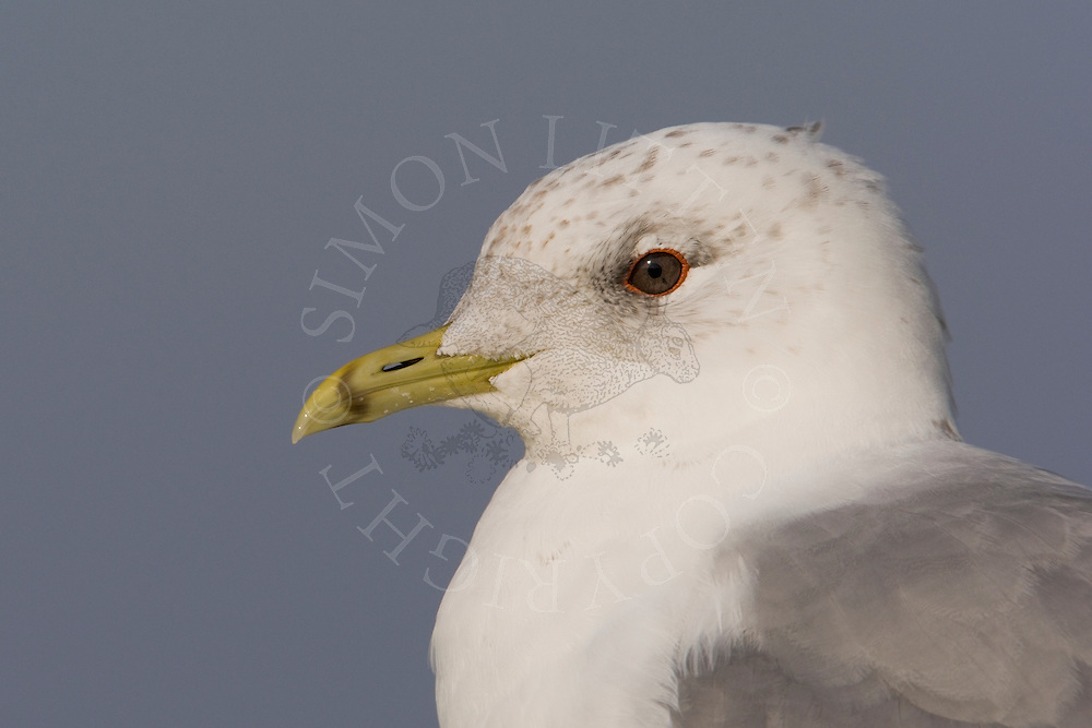 Common Gull (Larus canus) adult, winter plumage, Norfolk..
