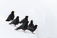 A group of socializing alpine chough or yellow-billed chough, (Pyrrhocorax graculus), Leukerbad, Valais, Switzerland