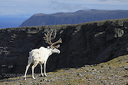 04: NORTH CAPE REINDEER