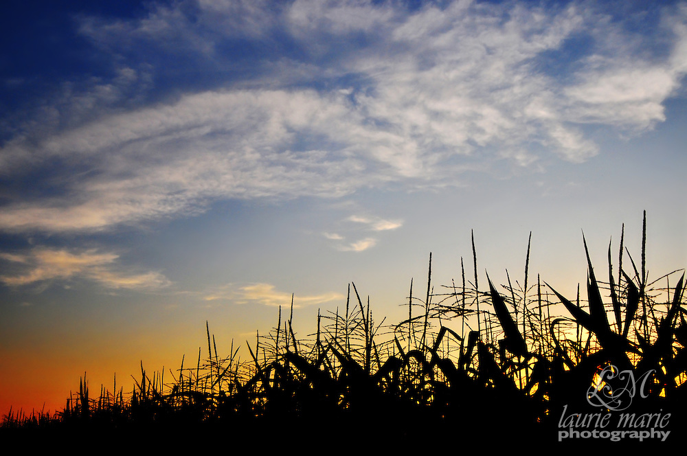 An Oregon cornfield silhouetted in sunset