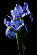 """The meaning often attributed to iris is """"message."""" If we carry that a bit further these Dutch Iris look so solidly planted that I get the impression of """"Patient Waiting"""""""