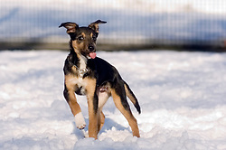 Wallace a four month old mixed breed rescue puppy dog plays for the first time in the snow while out for a walk in a local park  7 February 2009 © Paul David Drabble