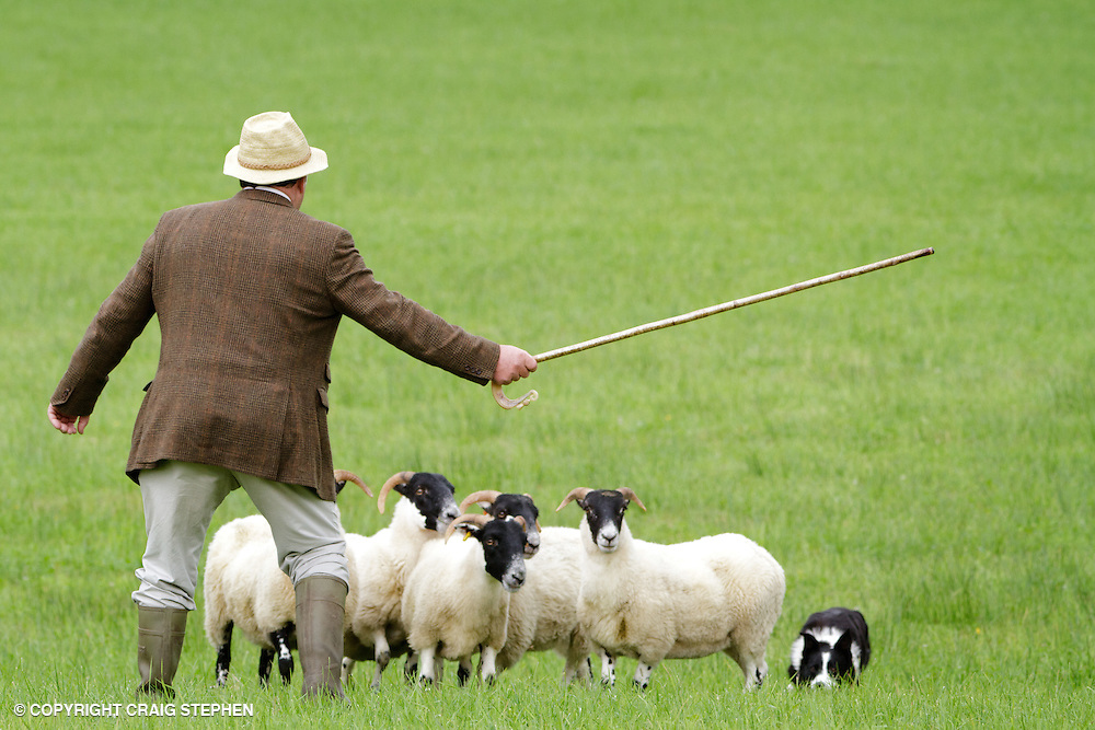 Sheepdog and owner herding sheep at a sheepdog trials competition.