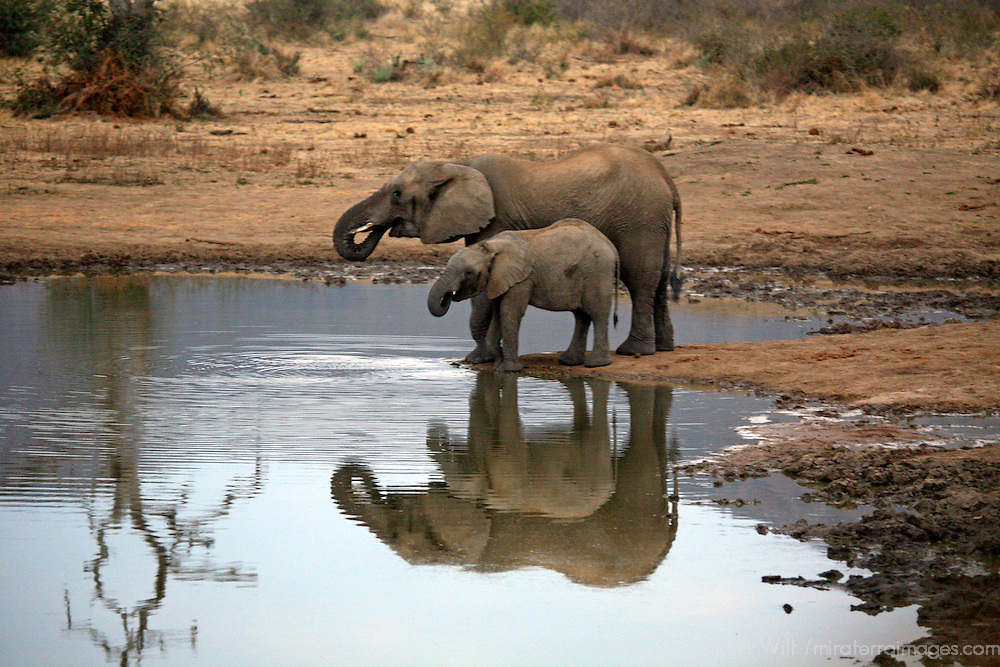 Africa, South Africa, Madikwe. Mother and young elephant reflected as they drink at water's edge.