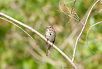An adult Song Sparrow perched on a branch like most sparrows this is a ground feeding bird.
