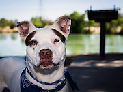 Adoptable dogs photographed at Pima Animal Care Center in Tucson, AZ.