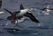 Thalassarche impavida (Campbell albatross)