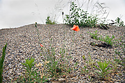 poppy seed flower growing on a hill of little stones