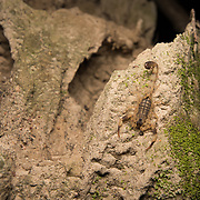 Chinese Striped Bark Scorpion (Lychas mucronatus) in Nong Ya Plong, Phetchaburi, Thailand