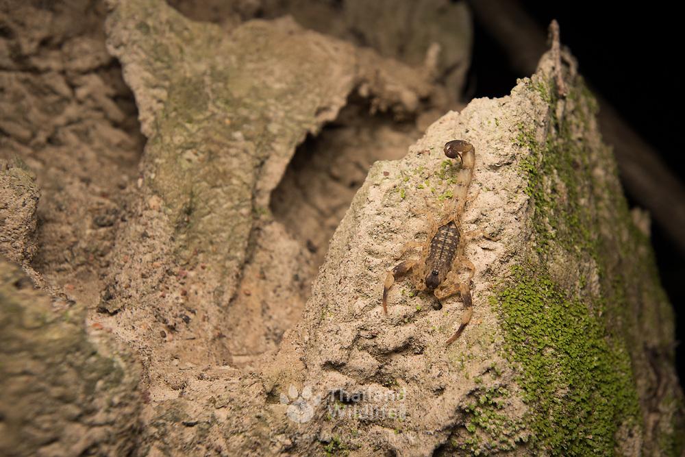 Chinese Striped Bark Scorpion (Lychas mucronatus) in Nong Ya Plong, Phetchaburi, Thailand