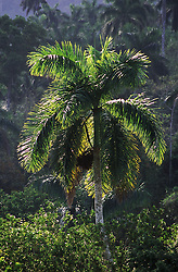 Backlit shot of palm tree near to Soroa; Cuba,