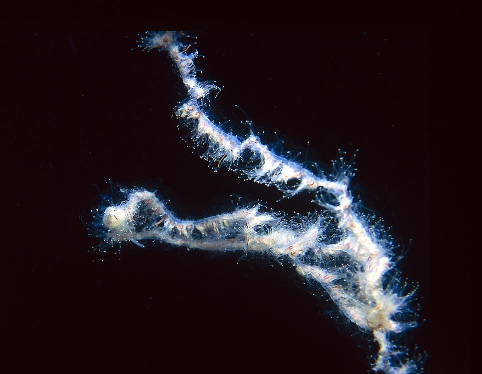 Barbed Wire Jellyfish (Apolemia uvaria). Location: Norway