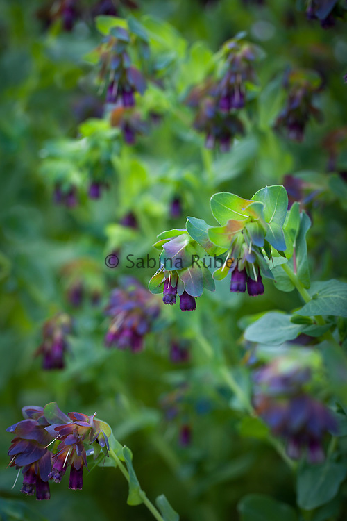 Cerinthe major 'Pride of Gibraltar' - honeywort