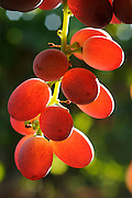 Israel, Negev, Lachish Region, Vineyard, Close up of a back lit cluster of ripe grapes