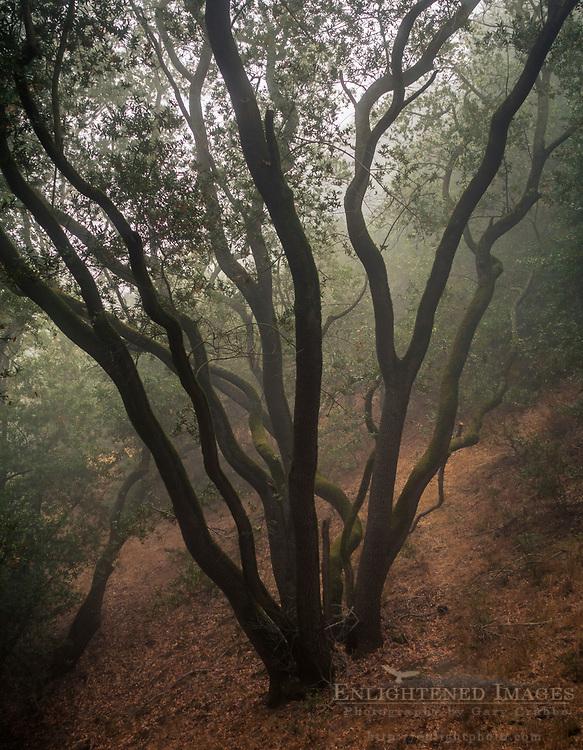 Tree in foggy woods, Briones Regional Park, Contra Costa County, California