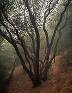 Tree in foggy woods, Briones Regional Park, Contra Costa County, California