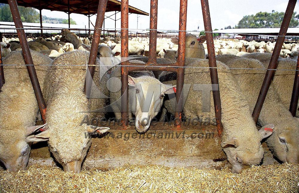 """Atlacomulco, Méx.- Campesinos de la región norte de la entidad seleccionan algunas de las 20000 ovejas importadas de Australia que el gobierno del Estado puso en venta con un subsidio del 40%; el costo por animal es de 771.64 pesos e incluye """"seguro"""". Agencia MVT / Mario Vàzquez de la Torre."""