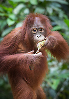 Portait of a wild, juvenile Bornean orangutan (Pongo pygmaeus) eating a banana from a supplemental feeding by park rangers in Tanjung Puting National Park, Borneo, Indonesia.