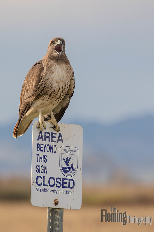 Red-tailed hawk  (buteo jamaicensis) in the Sacramento National Wildlife Refuge, California.