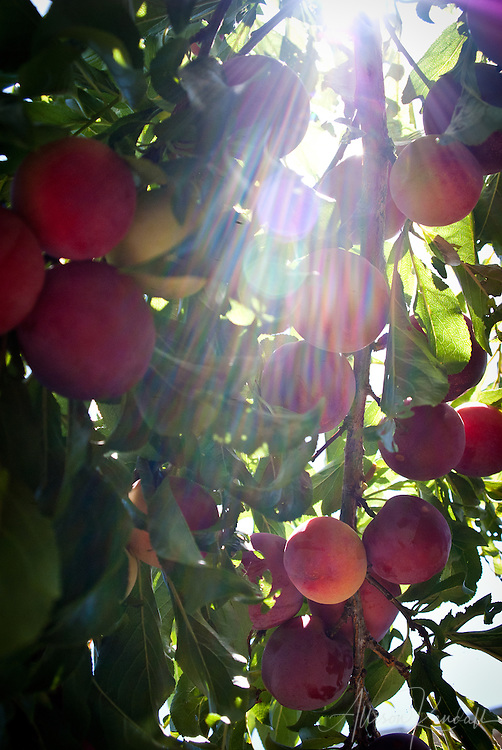 The boughs and branches of a plum tree are heavy with ripe summer fruit