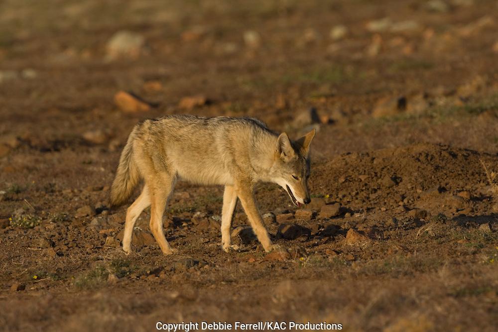 coyote walking looking down