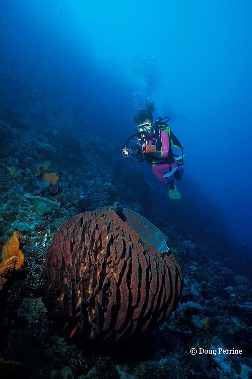 diver and giant barrel sponge, Xestospongia testudinaria, Father's Reefs, New Britain, Papua New Guinea ( Bismarck Sea / Western Pacific Ocean ) MR 242
