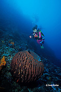 diver and giant barrel sponge, Xestospongia testudinaria, Father's Reefs, New Britain, Papua New Guinea ( Bismarck Sea / Western Pacific Ocean ) MR 242