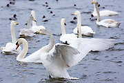 Group of Mute and Whooper Swans, Cygnus cygnus, one flapping wings ruffled feathers at Welney Wetland Centre, Norfolk, UK