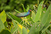 The purple gallinule (Porphyrio martinicus) photographed at Wakodahatchee wetlands, Florida.