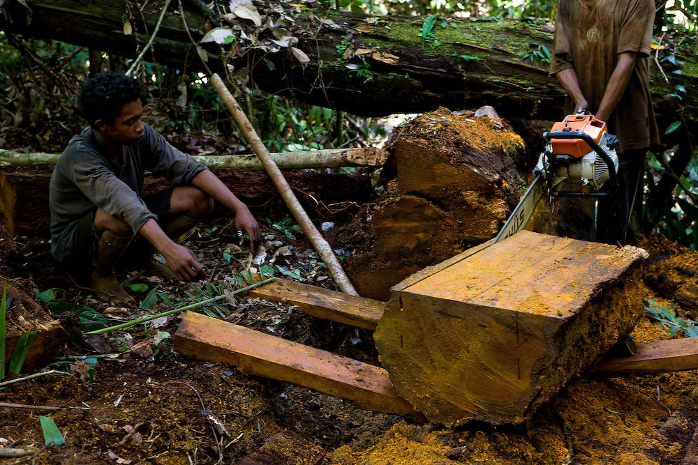 """Illegal loggers cut a fallen Iron Wood tree (Intsia palembanica) also known as """"Merbau"""", near the 22,000 hectare palm oil plantation of the Sinarmas Group in Papua, Indonesia, Sept. 4, 2008. .Daniel Beltra/Greenpeace"""