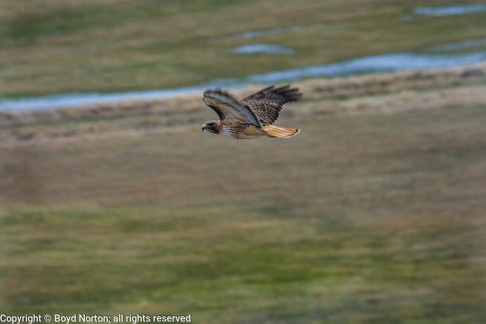 In the region of the Upper Green River Basin traditional ranch life is threatened by the oil and gas development. These scenes depict ranch environment along the Green River and surrounding areas. Many of these ranchers are planning to put their places into conservation easements to preserve the environment and lifestyle here and to protect agains oil and gas development. Red tail hawk