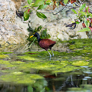 Northern Jacana within the channels of Mayakoba, Riviera Maya. Mexico.